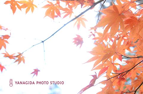 オレンジ 紅葉 弥彦.jpg