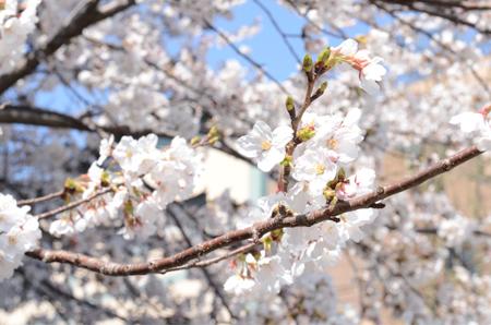 04_15 ブログ用桜1.jpg