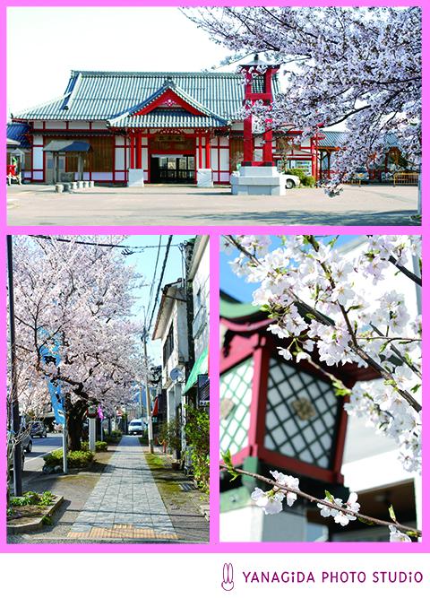 弥彦桜.jpg